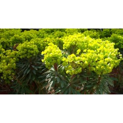 Euphorbia x 'Mini Martinii'