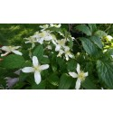 Clematis montana var. wilsonii