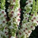 Verbascum blattaria 'albiflorum'