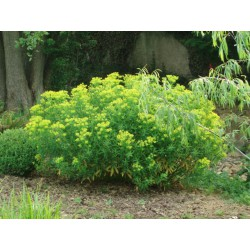 Euphorbia palustris 'Teichlaterne'