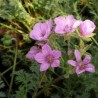 Erodium  variabile ' County Park'