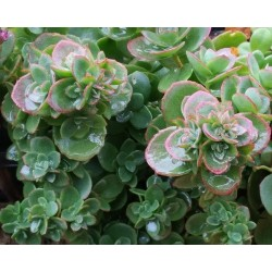 Sedum 'Sunsparkler Lime Zinger'