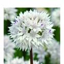 Allium amplectens 'Graceful'