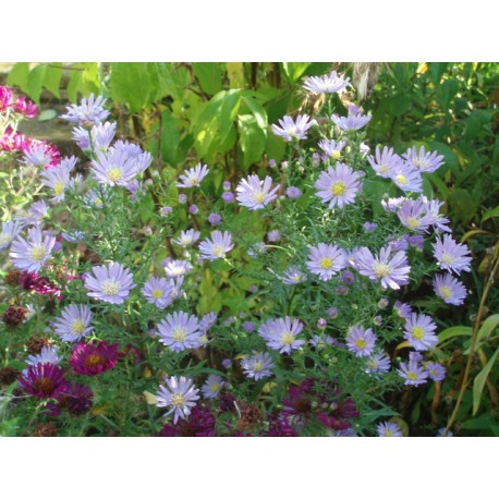 Aster 'Butterfly Blue'
