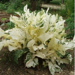 Armoracia rusticana 'variegata'
