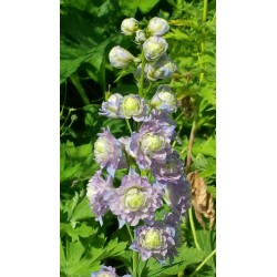 Delphinium elatum 'Highlanders Moonlight'