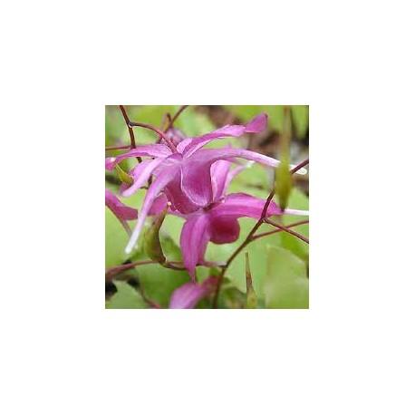 Epimedium grandiflorum  'Rose Queen'