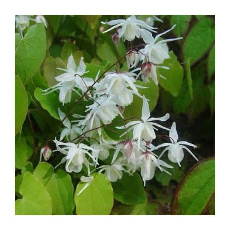Epimedium Youngianum \'Yenomoto\', fleur des elfes à fleurs blanches, ombre