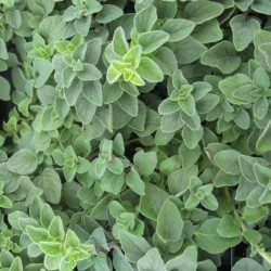 Origanum vulgare 'Hot and Spicy'