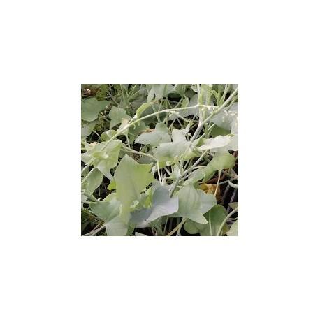 Rumex scutatus 'Silxer Leaf'