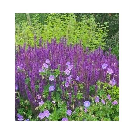 Salvia nemerosa 'Blauhugel'
