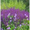 Salvia nemerosa 'du jardin'