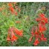 Zauschneria californica