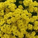 Alyssum saxatilis