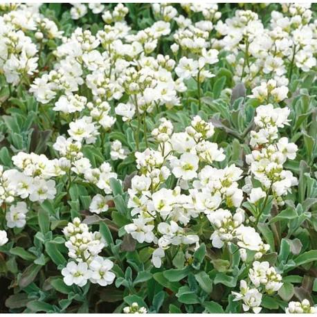 Arabis caucasica 'Flore pleno'
