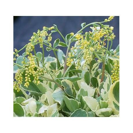 Chiastophyllum oppositifolium 'Jim's Pride'