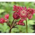 Astrantia major 'Ruby Star'