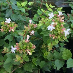 Abelia 'Little Richard'
