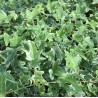 Hedera helix 'Sagittifolia variegata'