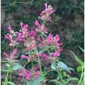 Agastache foeniculum 'Red Fortune'