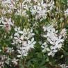 Gaura lindheimeri 'Sparkle White'
