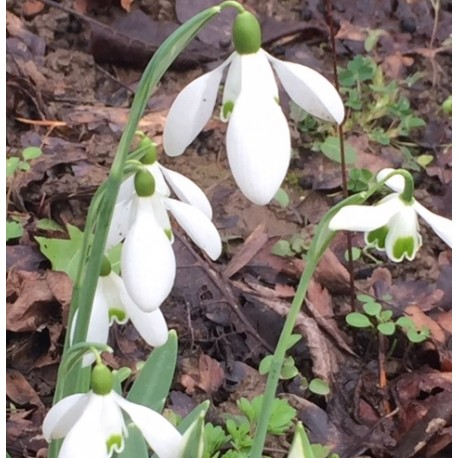 Galanthus nivalis  'Sam Arnott'