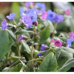 Pulmonaria angustifolia azurea