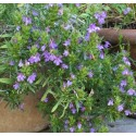 Satureja montana var. illyrica