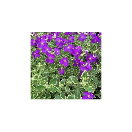 Aubrieta  deltoidea ssp variegata