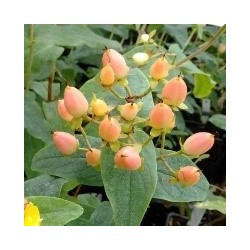 Hypericum MAGICAL ® Innocence 'KOLMAGINNO'