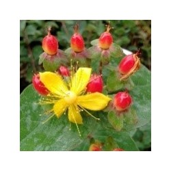 Hypericum MAGICAL ® Impression 'KOLMAGIMPRE'