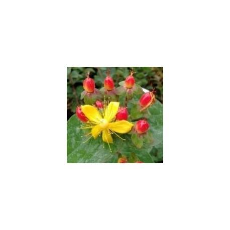 Hypericum MAGICAL ® Impression 'KOLMAGIMPRE'