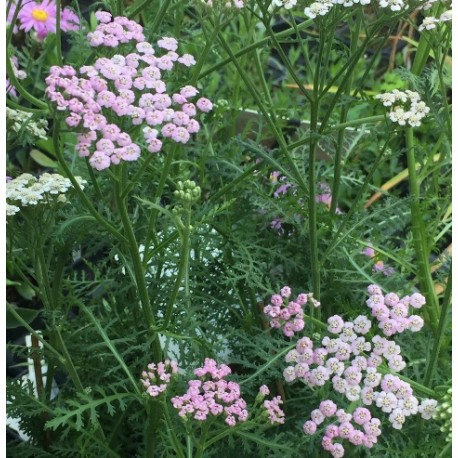 Achillea 'Lilac Beauty'