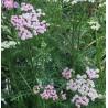 Achillea 'Lilac Beauty'