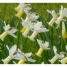Narcissus cyclamineus 'Tracey'