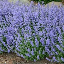 Nepeta x faassenii 'Pursian blue'