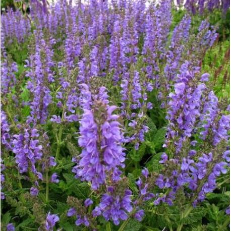 Salvia nemerosa 'Rhapsody in Blue'