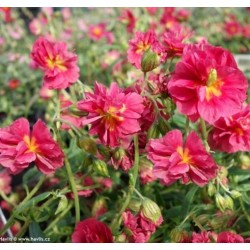 Helianthemum 'Hartswood Ruby'