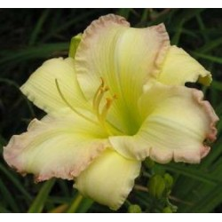 Hemerocallis 'Big Smiles'
