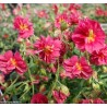 Helianthemum 'Cerise queen'