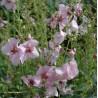 Verbascum hybride 'Pink Domino'