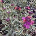 Erysimum linifolium 'variegatum'