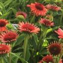 Echinacea 'Orange Meditation'