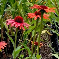 Echinacea 'Orange Sensation'