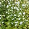 Calamintha nepeta 'Marvelette White'