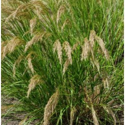 Stipa calamagrostis 'Algau'