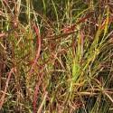 Miscanthus sinensis 'Senorita'