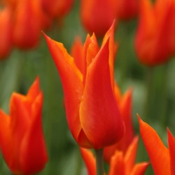 Tulipa ' Ballerina'