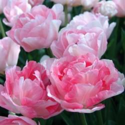 Tulipa ' Angélique'