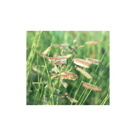 Bouteloua gracilis gramin e achat vente en ligne de for Achat plante en ligne